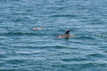 delfines acompañan el barco a Sálvora